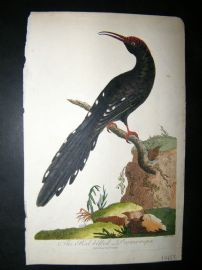 After George Edwards C1800 Hand Col Bird Print. Red-Billed Promerops